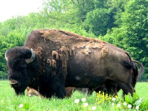 Le bison d'Amérique élevage en France