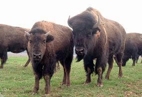bison, qualité nutritionnelle